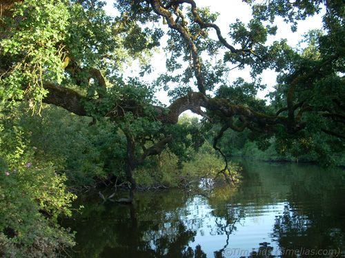 Oak leaning over water